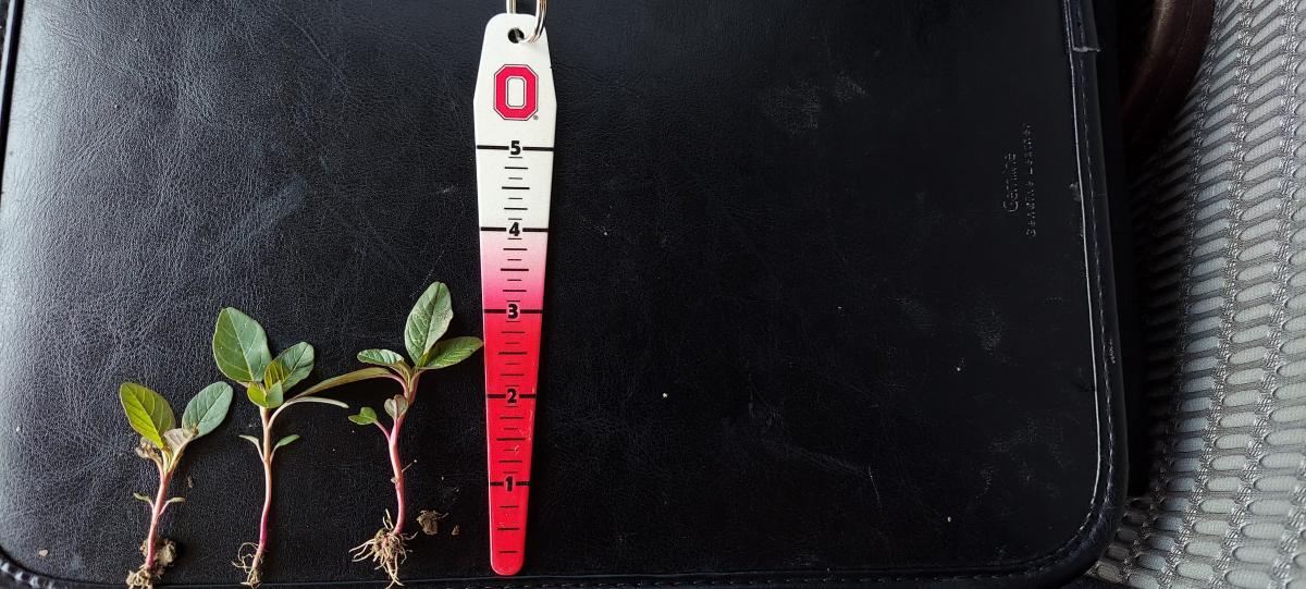 waterhemp seedlings